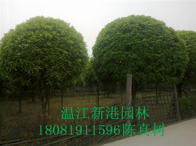 供应高干桂花供应商图片
