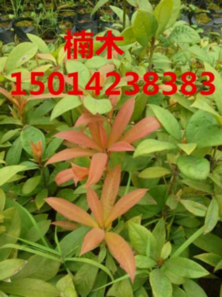 供应楠木蓝花楹造林种苗,70公分高樟树苗,黎蒴种苗批发,造林袋苗价格