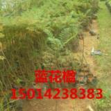 供应南方木荷种苗价格,40公分高木荷袋苗批发,南方木荷小苗,木荷树苗