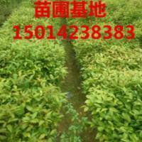 供应广东广州明兴苗圃场15014238383,明兴苗圃场红花荷基地