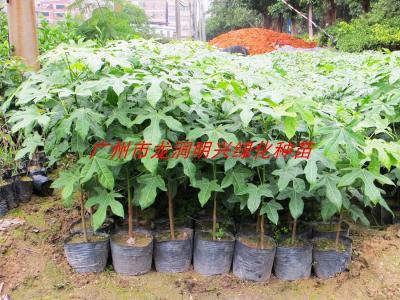 供应南方红车苗,40公分高红车种苗批发,红车小苗,红车袋苗价钱