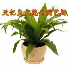 供应优质鸟巢蕨/波浪蕨蕨类植物批发青州天亿良友花卉园艺场批发