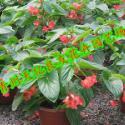 龙翅海棠图片