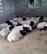 供应15波尔山羊