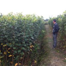 供应天竺桂、樱花、木芙蓉等工程小苗成都苗木批发批发