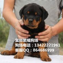 广州哪里有卖罗威纳犬 广州哪里有正规狗场 罗威纳的价格多少图片
