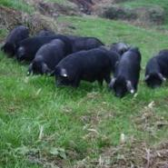 上海藏香猪价格图片