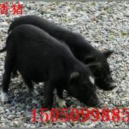 湖北藏香猪多少钱/藏香猪批发图片