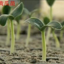 供应山东蔬菜种苗批发商,山东卖蔬菜种苗的专业公司