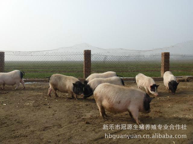 供应用于饲养的巴马香猪