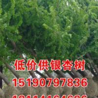15cm银杏树价格_16cm银杏树价格_金生银杏