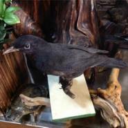 动物标本鸟类标本乌鸦标本图片
