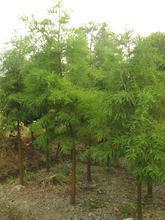 供应江苏池杉树种植园图片