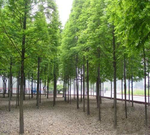 供应池杉树苗木优质种苗批发图片