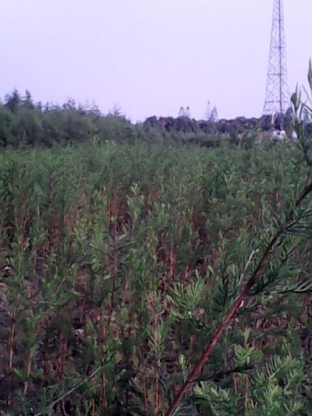 供应池杉小苗优质种苗批发图片