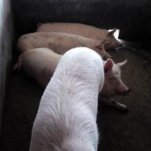 供应肥猪价格