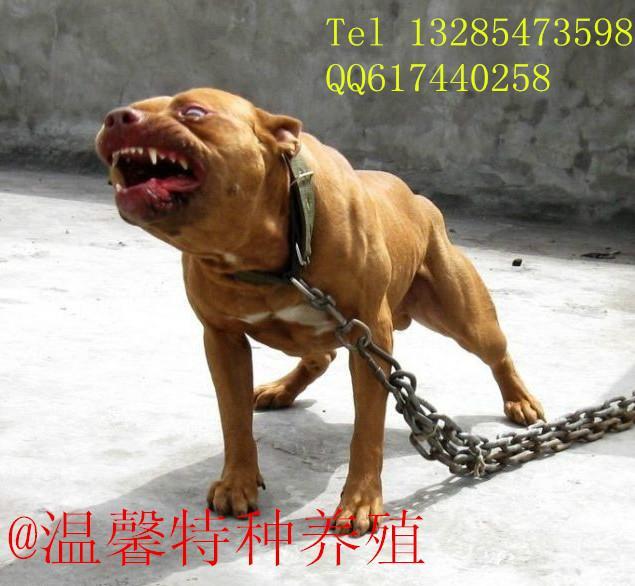 供应比特犬价格图片