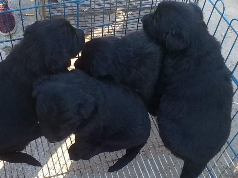 供应肉狗养殖效益图片