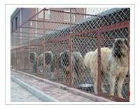 供应肉狗市场,肉狗行情,改良肉狗繁殖基地图片
