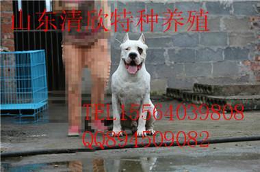 供应杜高犬杜高犬价格图片