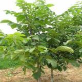 供应核桃树苗繁育种植管理山西基地