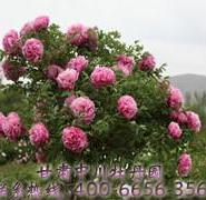 百年牡丹古树图片