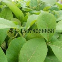 供应广西贺州哪里有柚木树苗批发l广西贺州柚木树苗批发价是多少批发