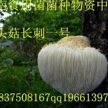 供应食用菌猴头菇长刺一号母种 猴头菇一级菌种 试管母种 颗粒母种批发