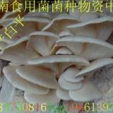 供应高产白平栽培种 一级菌种 试管菌种 颗粒母种 原种