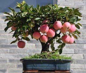 果树盆景苗木