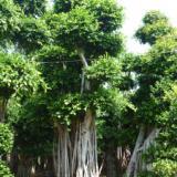 供应小叶榕盆景-小叶榕价格-造型榕树