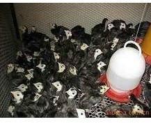 黑羽火鸡苗图片/黑羽火鸡苗样板图 (1)