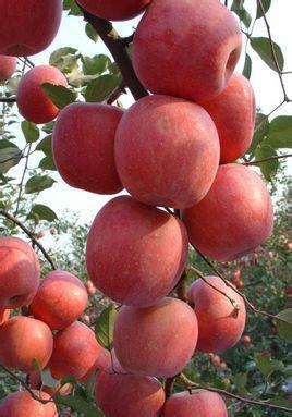 烟台红富士苹果批发厂家图片图片