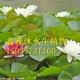 供应睡莲种植-基地-公司-厂家,首选鑫雅沐水生植物专业种植合作社
