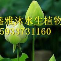 供应用于观赏的盆栽荷花北京销售商