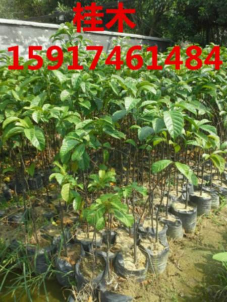 供应桂木种苗市场价钱,批发桂木小苗,桂木袋苗供应商,桂木树苗pf报价