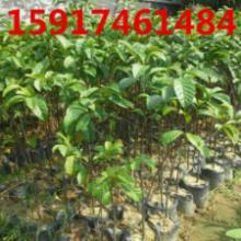 供应用于绿化种苗|造林苗的广州桂木、九果。胭脂木大袋批发批发