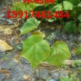 供应广西50公分高米老排小苗,广东米老排树苗供应商,广州米老排种苗价格