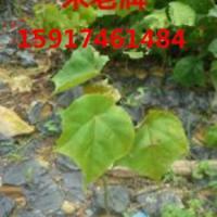 供应广州米老牌种苗便宜价,南方米老牌苗木价格,广东米老牌袋苗批发商