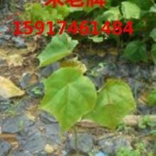 供应用于绿化造林的广东40公分高米老排树苗便宜价,广州50公分高米老排种苗供货商,南方60公分高米老排小苗价格图片