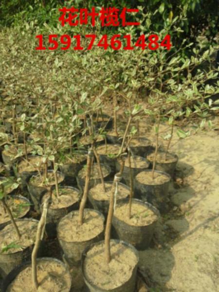 供应细叶榄仁出售价,细叶榄仁种苗便宜价,细叶榄仁供应商,细叶榄仁苗木