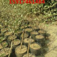 供应细叶榄仁袋苗批发基地,细叶榄仁袋苗报价,细叶榄仁袋苗价格,造林苗