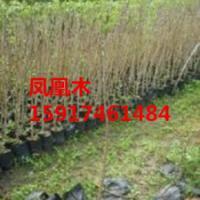供应广东哪里的凤凰木便宜,广东凤凰木苗圃基地,广东哪里有凤凰木种苗