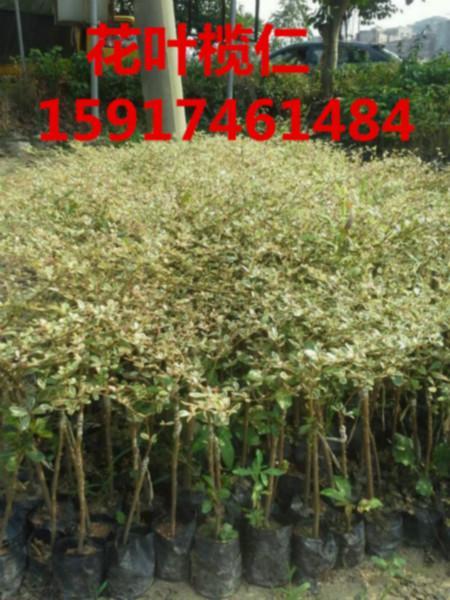 供应用于绿化的南方80公分高细叶榄仁袋苗批发价,广东广州细叶榄仁小苗价格,广东细叶榄仁种苗报价,广东细叶榄仁便宜苗木