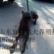 沧州惠比特犬养殖场图片