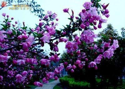 供应紫色王子海棠
