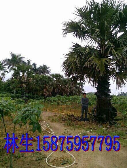 供应扇叶糖棕,湛江扇叶糖棕种植园,扇叶糖棕用途