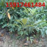 供应用于绿化造林的南方30公分高海南红豆小苗报价,广东40公分高海南红豆种苗批发商,南方海南红豆树苗供应商