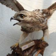 学做鹰野鸡鸟类动物标本哪里便宜图片