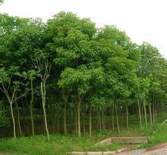 供应哪里重阳木最便宜,江苏重阳木的价格,大丰紫薇树行情